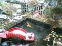 夙川駅のホームに設けられた池のコイもジッと動かない