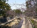 開花直前の夙川公園