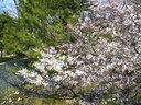 夙川駅のホームから5分~6分咲きの桜を望む