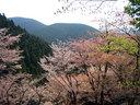 山桜と新緑が織り成す奥千本の絶景