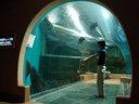 ピラルクたちが泳ぐ水槽は日本初のチューブ水槽とのこと