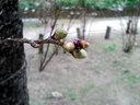 膨らんできた夙川の桜のつぼみ