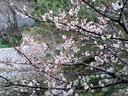 夙川駅のホームから望む桜