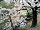 夙川駅ホームから望む桜