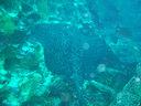 ガラパゴスの海で見たマーブルドレイスティングレイ