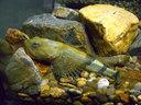 カマキリという名の日本の珍しい魚