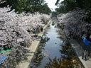 ほぼ満開の夙川公園