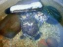 ヴェランダの鉢で飼われている3頭のミシシッピアカミミガメ