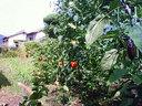 庭にはトマトやナス、それにゴーヤーなどが生っている