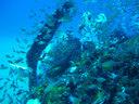 漁礁に居着くアザハタなど