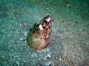 砂から頭を出すミナミホタテウミヘビ