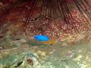 ガンガゼの下に隠れるソラスズメダイの仔 後ろにはサラサエビも見える