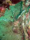 岩陰に潜むミノカサゴ