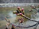 夙川の桜の蕾