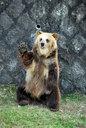 手を挙げてアピールするヒグマ
