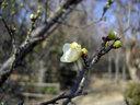 梅林に咲いていた白い花