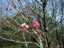 こちらはピンクの梅の花