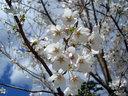 不思議と満開の桜