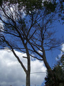 我が敷地の山桜と楠の2ショット