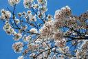 中には満開の花を残す樹もある