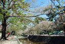 桜の盛りを過ぎた夙川