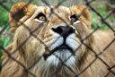 2歳を迎えるオスライオン