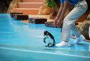 1羽、列を外れて保護されるケープペンギン