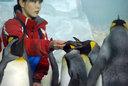 餌をもらうキングペンギン