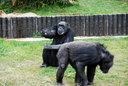 来園客に餌をねだるチンパンジー