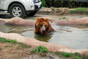 水浴びするヨーロッパヒグマ