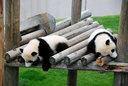 双子の仔パンダはぐったり寝ていた