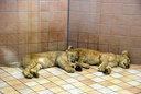 仔ライオンも寝ていた