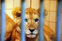 こいつはかわいらしい仔ライオン