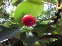 桜の木に生っていたこれはサクランボ?