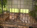 庭で飼われているウサギ