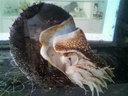 オウムガイの生体も展示されていた