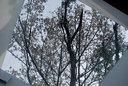 朝、見上げたトップライト越しの山桜