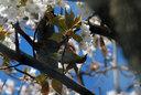昼、うちの山桜にメジロがやってきた