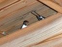「丹波おばあちゃんの里」の軒下に巣を作っていたツバメ