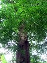 裏庭のシンボルツリーはメタセコイア