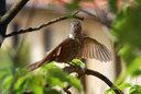 羽を乾かすヒヨドリ