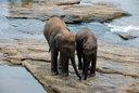 ピンナワラの孤児院の仔ゾウたち