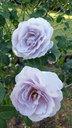 植物園に咲いていたブルー・バユーという青いバラ