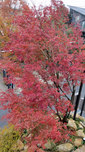 紅葉したイロハモミジ