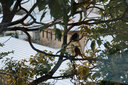 雪景色を眺める2羽のヒヨドリ
