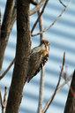 思いっきり首を反らせて木をつつくコゲラ