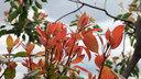 クスノキの赤い新芽