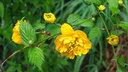 ヤマブキの黄色い花
