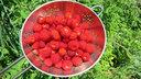 収穫したノイチゴ