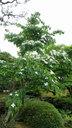 大きなヤマボウシの木